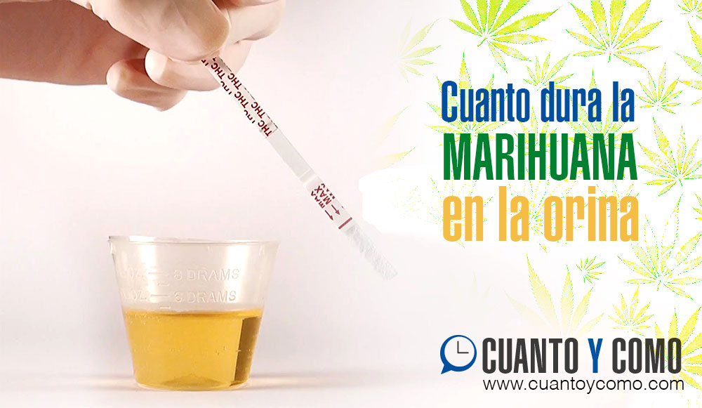 Cuanto dura la marihuana en orina