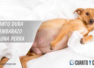 Cuanto dura el embarazo canino