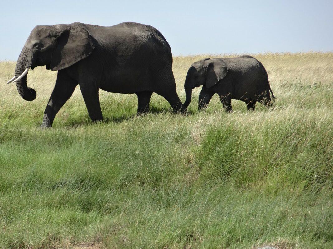 Cuánto dura el embarazo de un elefante
