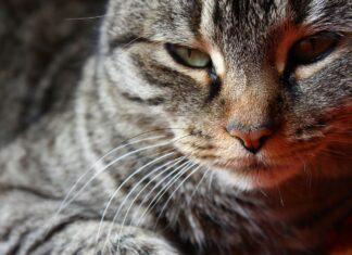 Cuanto dura el celo de una gata