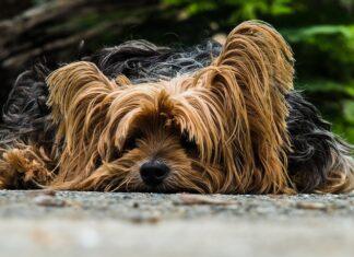 Cuanto dura el celo de un perro