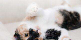 Cuanto dura el celo de una gata imagenes