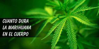 Cuanto dura la marihuana en el cuerpo, sangre y orina