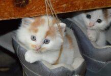 Cuanto dura el embarazo de un gato imagenes