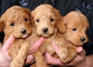 Gestacion en perros