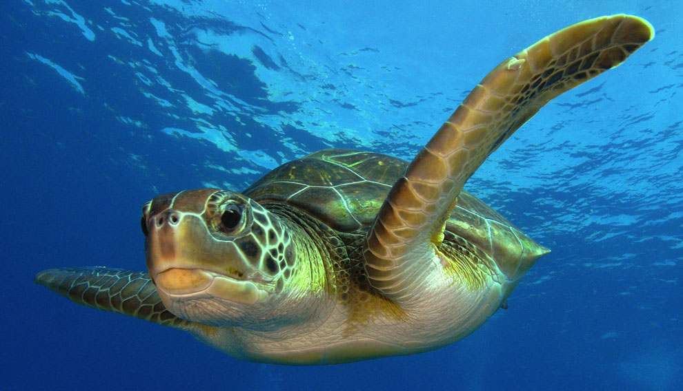 cuanto-duran-tortugas